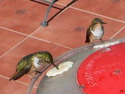 Scintillant Hummingbirds, male on right