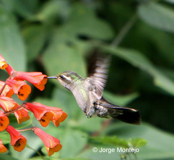 Amethyst-throated Hummingbird picture