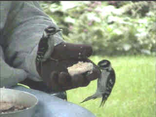 hand-feeding 2 Downy Woodpeckers at same time