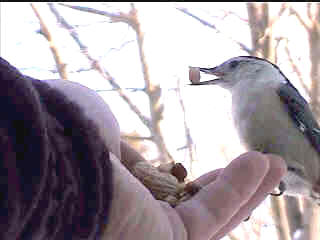 hand-feeding Nuthatch
