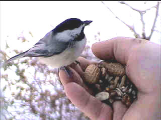 hand-feeding Chickadee