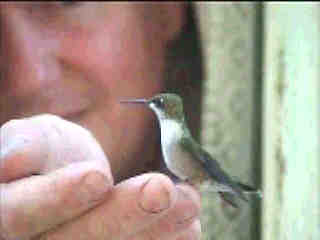 Hummingbird sitting on finger