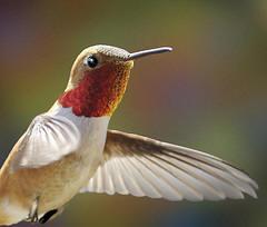 Ohio hummingbird picture-Rufous hummingbird, one of the hummingbird species in Ohio
