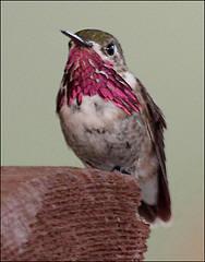 Ohio hummingbird picture-Calliope hummingbird